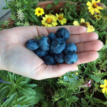LargeBlueberries